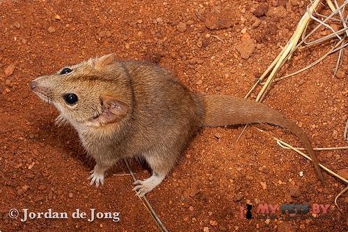 Сумчатая мышь Вулли
