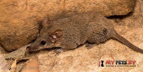 Кимберлийская сумчатая мышь