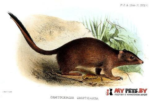 Гребнехвостая сумчатая мышь