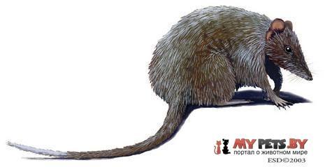 Длиннокоготная сумчатая мышь