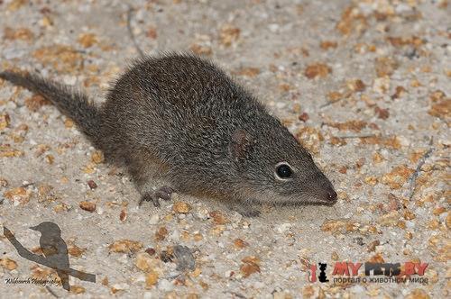 Крапчатая сумчатая мышь
