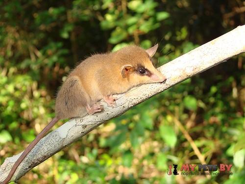 Brazilian gracile opossum