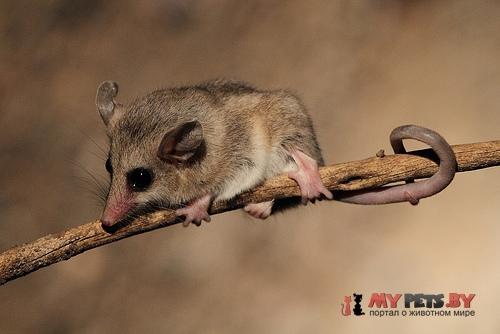 Изящный мышиный опоссум
