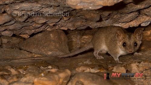 Песчаниковая сумчатая мышь