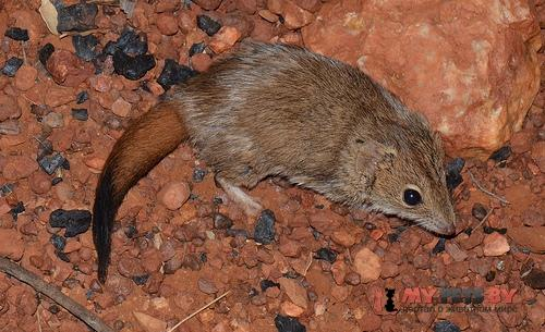 Западная сумчатая мышь