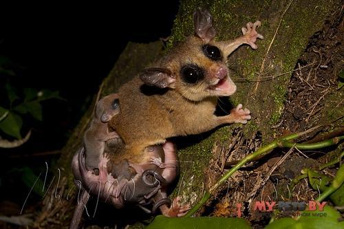 Обыкновенный мышиный опоссум