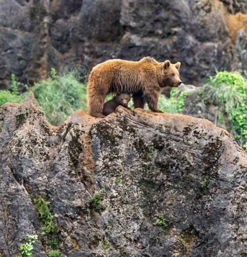 1432140945_pay-mother-bear-with-her-cub-on-a-mountain-3
