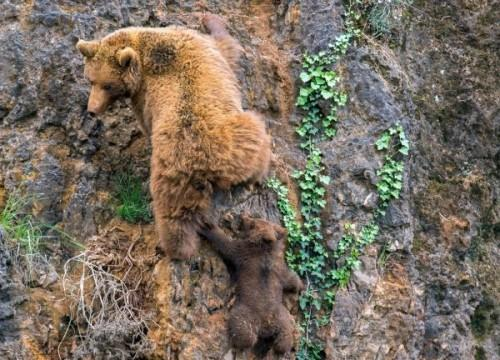 1432185326_1432140667_pay-mother-bear-with-her-cub-on-a-mountain-1