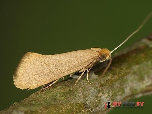Nematopogon swammerdamella
