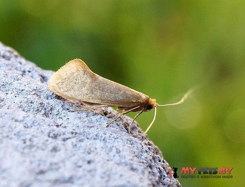 Nematopogon schwarziellus