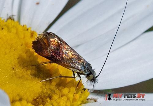 Nemophora prodigellus