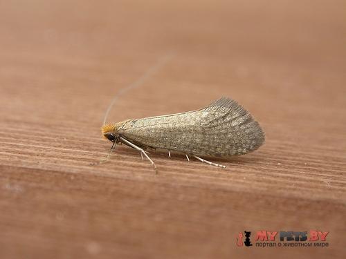Nematopogon adansoniella