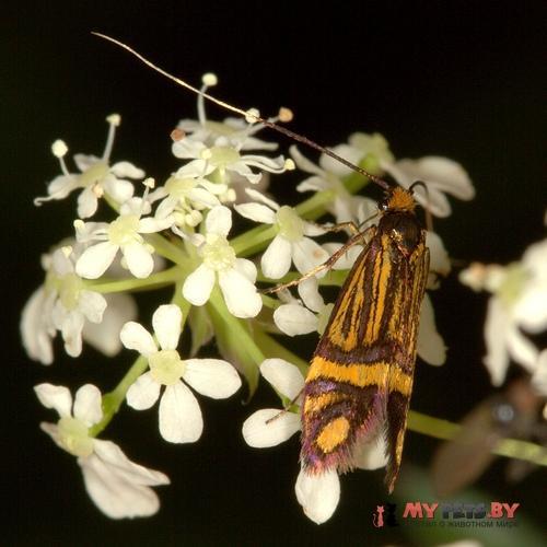 Nemophora ochsenheimerella