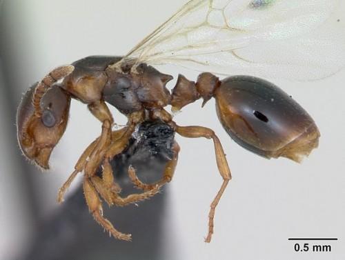 Муравьи-недотроги (Formicoxenus Nitidulus)