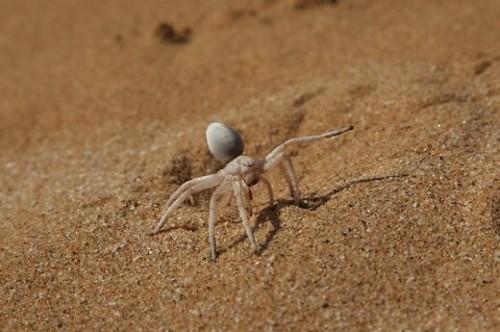 afrikos-riedantis-voras-lot-carparachne-aureoflava-64826129