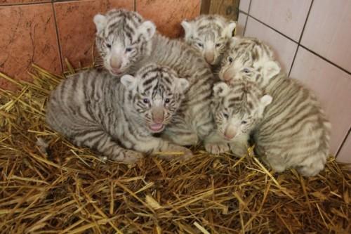 tigres-jaunikliai-zavi-savo-mielumu-68155232