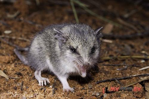 Малая длиннохвостая сумчатая мышь
