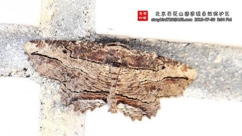 Phthonandria emaria