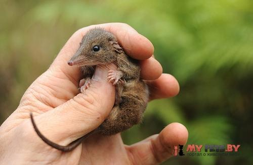 Карликовая сумчатая мышь