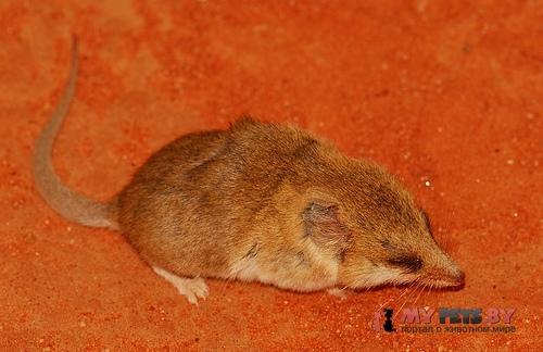 Мохноногая сумчатая мышь