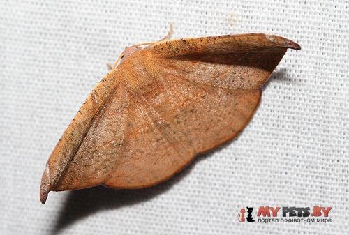 Tacparia zalissaria