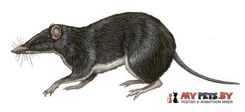 Новогвинейский бандикут