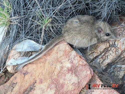 Длиннохвостая сумчатая мышь