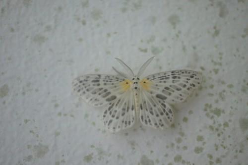 Genusa simplex