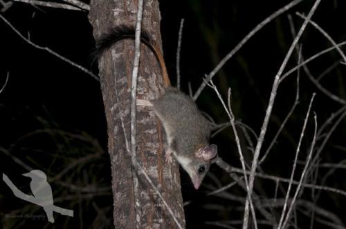 Малая сумчатая крыса
