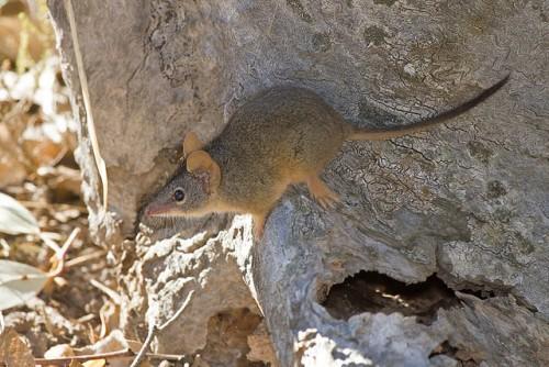 Желтоногая сумчатая мышь