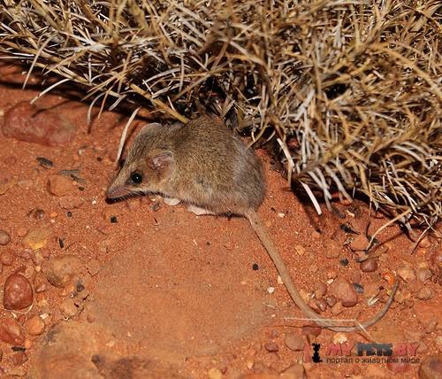 Сумчатая мышь Тротона