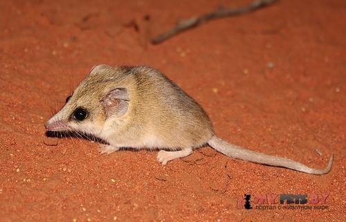 Сумчатая мышь Янгсона