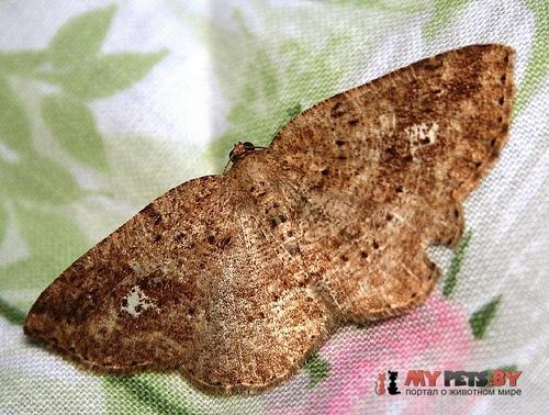 Homochlodes lactispargaria