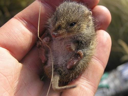 Малая сумчатая мышь
