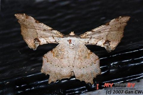 Xylinophylla hypocausta