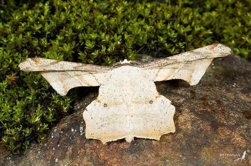 Gonodontis pallida