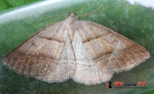 Petrophora subaequaria