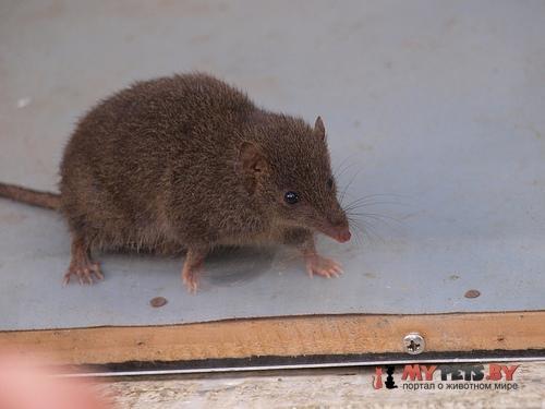 Сумчатая мышь Свенсона