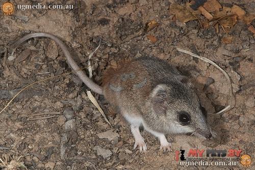 Малая узколапая сумчатая мышь