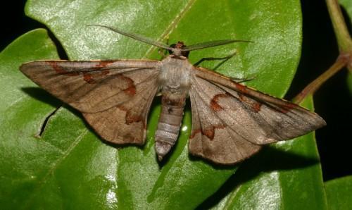Hypochrosis pyrrhophaeata