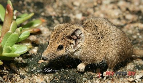 Северная сумчатая мышь