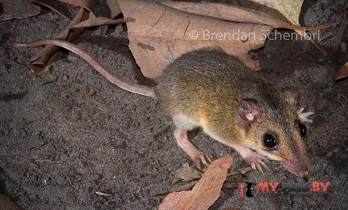 Сумчатая мышь Батлера