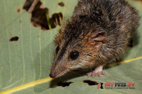 Краснощёкая сумчатая мышь