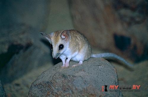 Жирнохвостая сумчатая мышь
