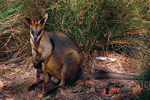 Болотный кенгуру