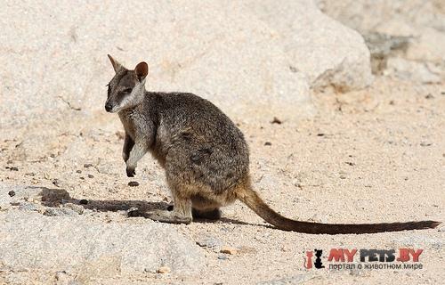 Квинслендский скальный валлаби