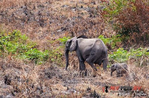 Лесной слон