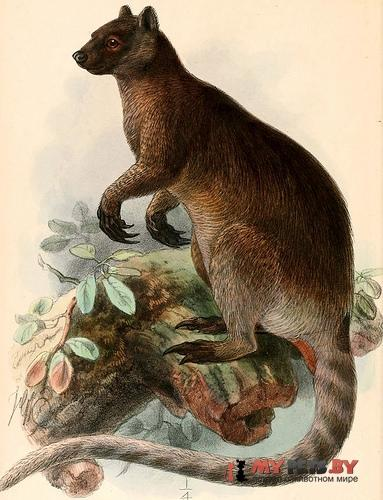 Седой древесный кенгуру