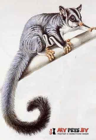 Petaurus biacensis