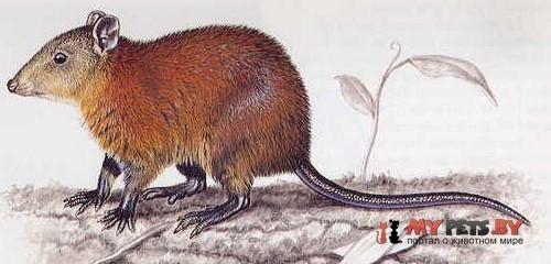 Мускусная кенгуровая крыса